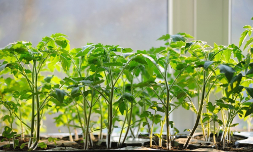 Уход за рассадой помидоров: что нельзя делать