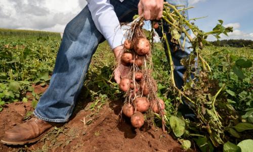 Дачникам рассказали, как можно без удобрений увеличить урожай картофеля