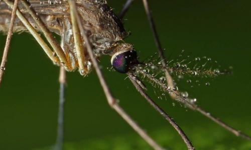 Миф или нет: можно ли заразиться ВИЧ-инфекцией через укус комара